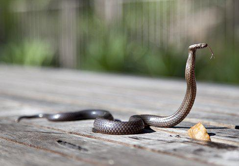 Animal, Close-Up, Cobra, Outdoors