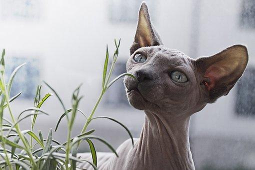 Animal, Cat, Feline, Hairless, Pet, Cat