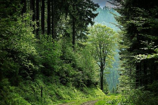 Selva Negra, Claro, Forestales, Camino