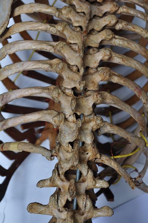 Bones Skeleton Back · Free photo on Pixabay