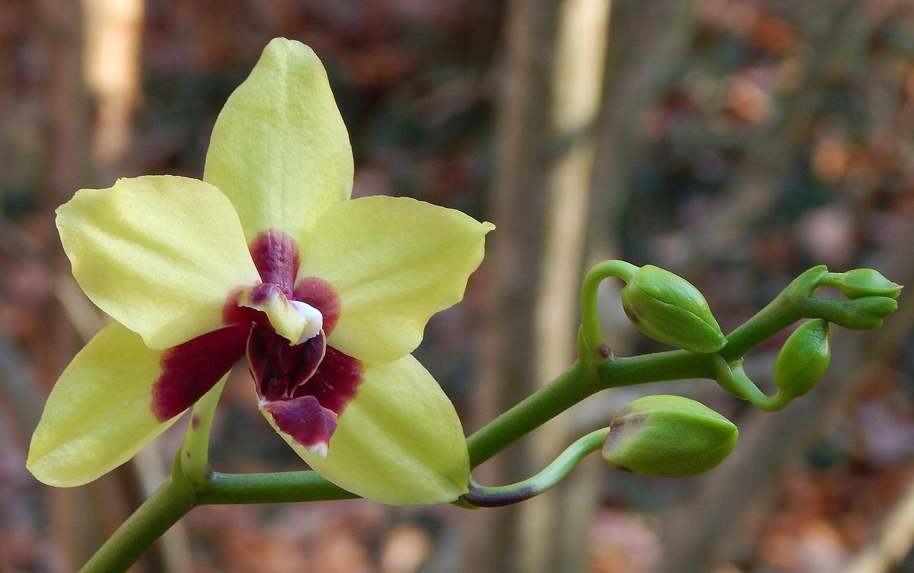 всех бутоны орхидеи фото уникальных