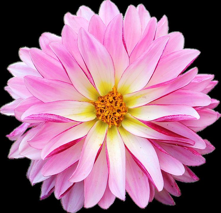 Dahlia flower pink free photo on pixabay dahlia flower pink yellow mightylinksfo