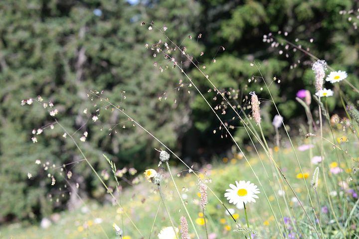 震える草、ブリザメディア、草、普通、チュウコバンソウ