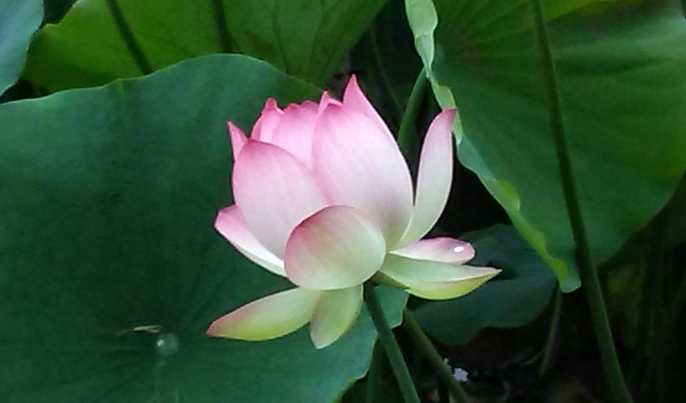 free photo echo park, lotus, lotus flower  free image on pixabay, Beautiful flower