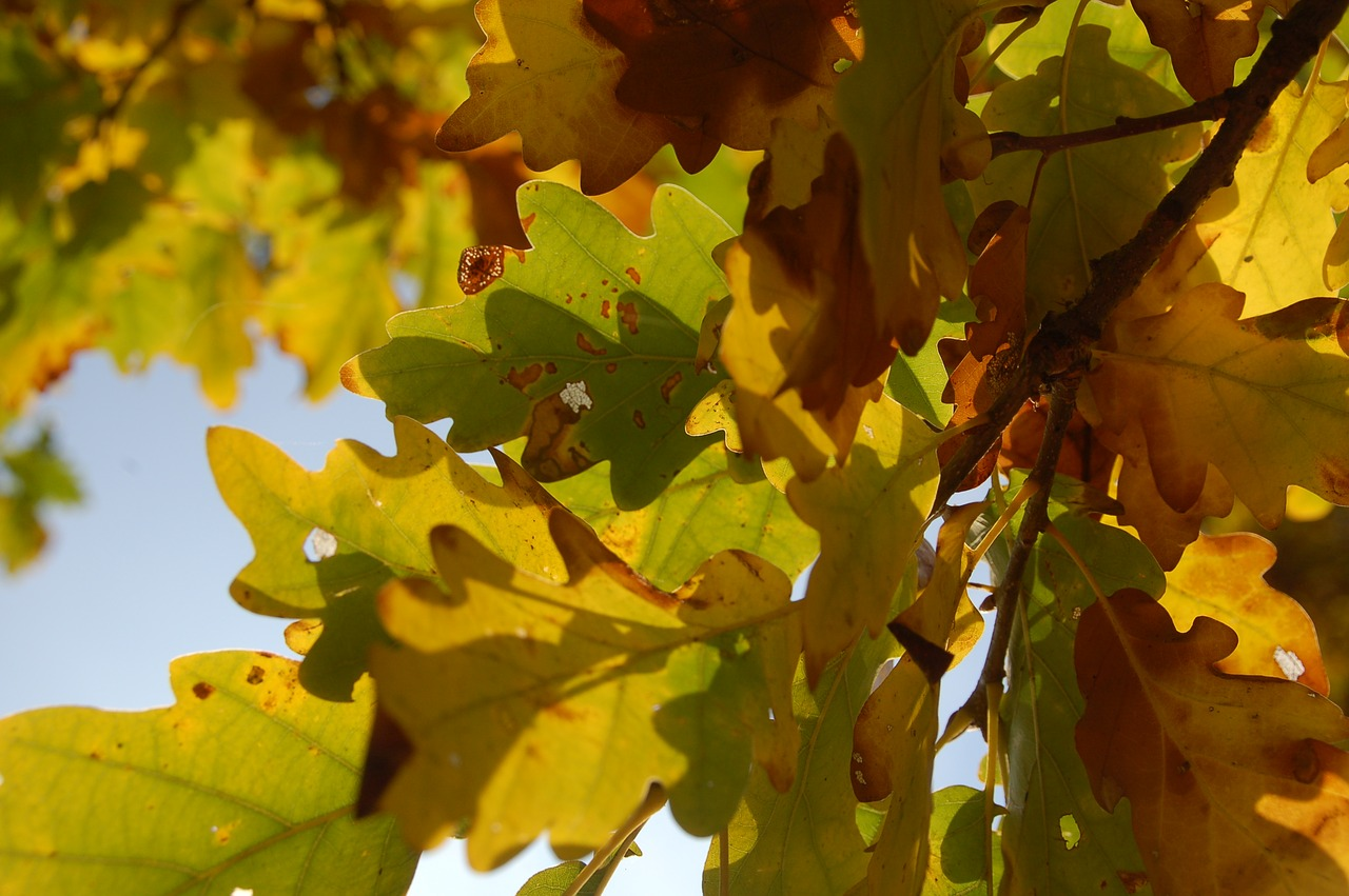 можно открыть дубовые листья осенние фото сообщила этом