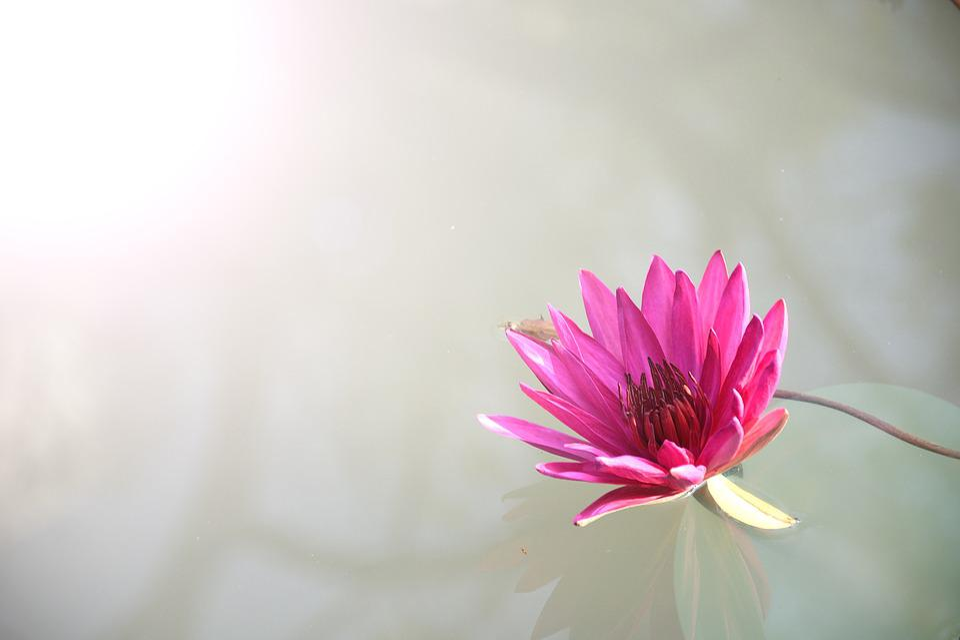 Flora, Flower, Lotus, Nature, Pink, Plant