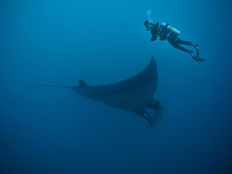 Manta, Rays, Diving, Deep, Wet, Water, Ocean, Sea