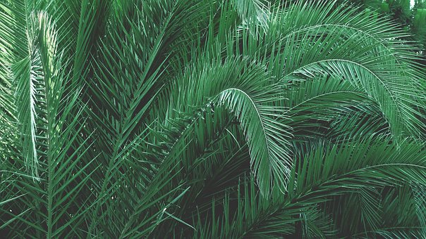 Green, Leaves, Palm, Palm Tree, Tree