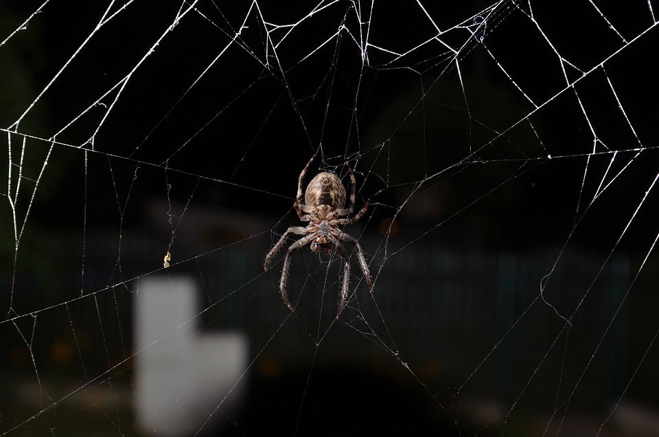 Araña, Insecto, Telaraña