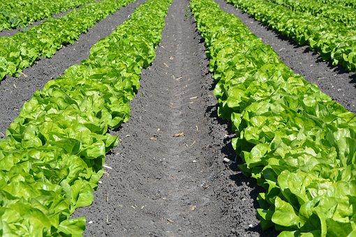 Lettuce, Row, Agriculture, Plant, Farm