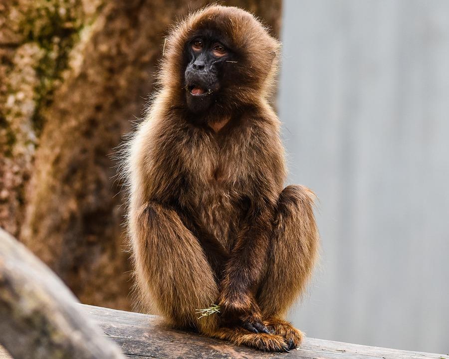 猴子 动物园 威廉玛 · pixabay上的免费照片