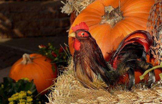 Rooster, Pumpkin, Thanksgiving, Farming