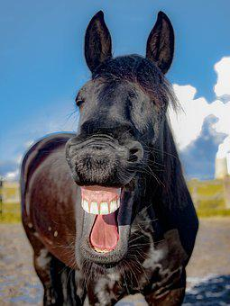 Horse, Mare, Friese, Laugh, Yawn, Tooth