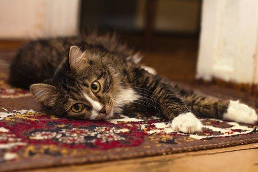 Animal, Animal Photography, Carpet, Cat