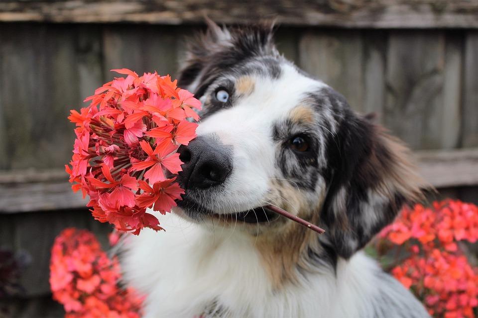Free Photo Flowers Dog Shepherd Puppy Free Image On