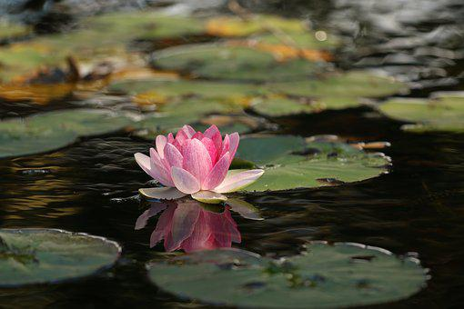 Beauty, Flower, Lotus, Meditation, Peace