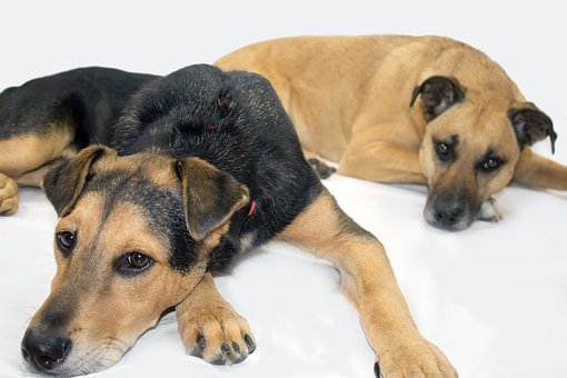 Black Mouth Cur, Rescue Dogs, Shepard
