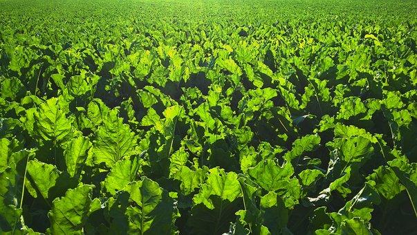 Backlit, Farming, Green, Sugar Beet