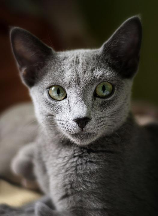 Cat Russian Blue - Free photo on Pixabay