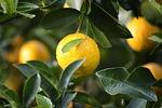 agriculture, citrus, close-up