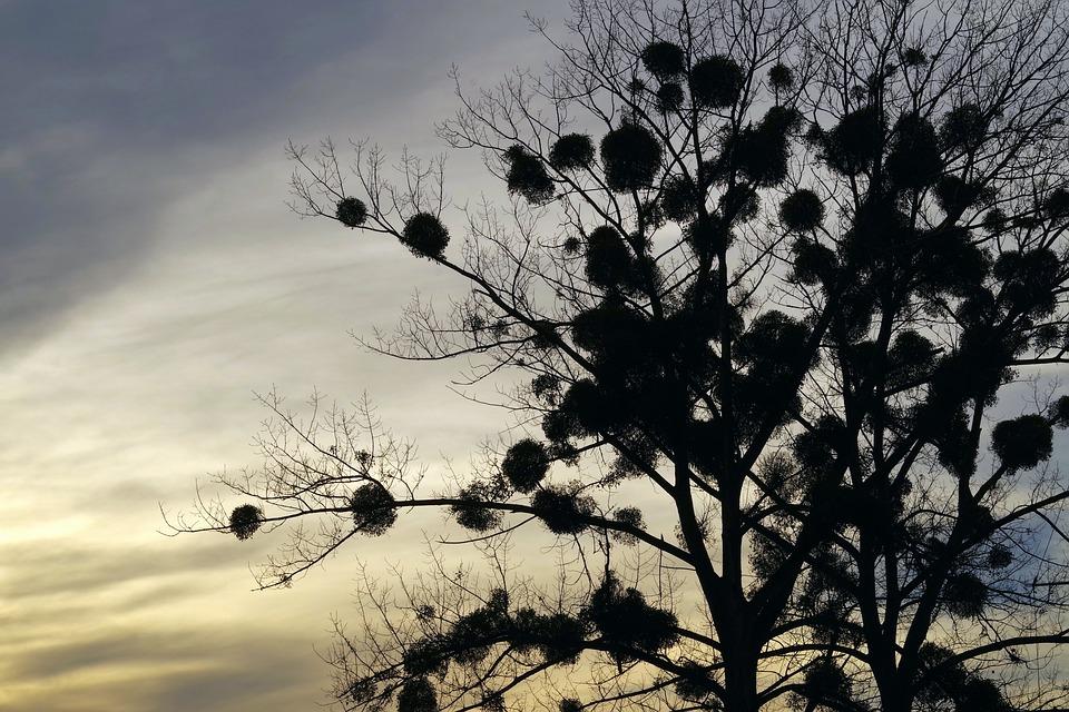 Jemioła, Drzewo, Pasożyt, Zachód Słońca, Kolorowe