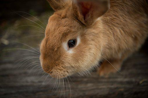 Animal, Bunny, Close-Up, Cute, Pet