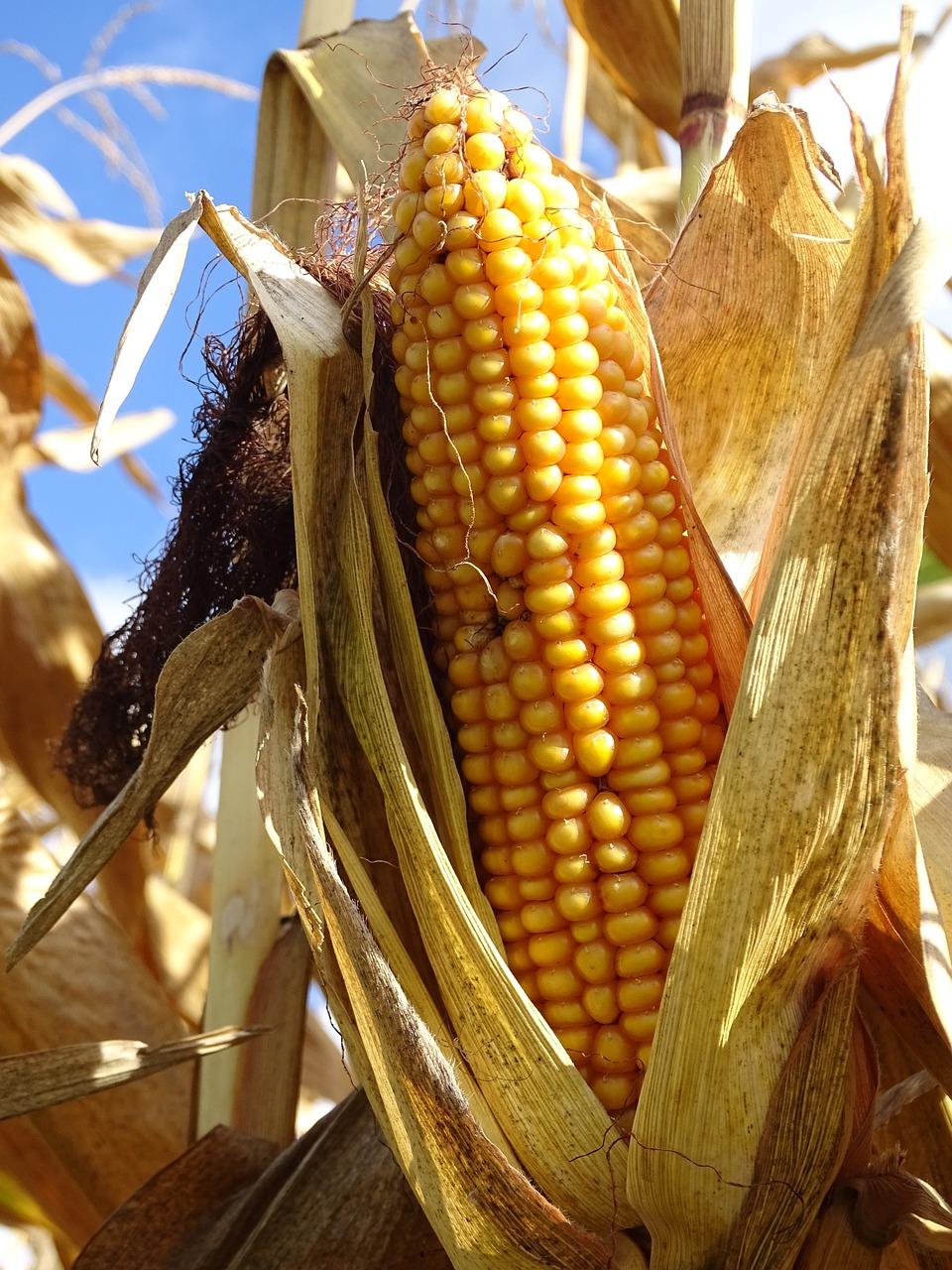 История кукурузы в картинках
