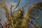 kingfisher, halcyon