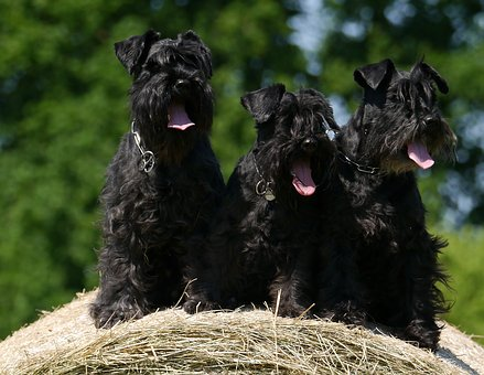 Dogs, Schnauzer, Hay Bales, Dogs, Dogs