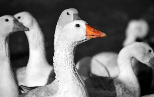 Geese, St Martin'S Goose, Goose, Bird