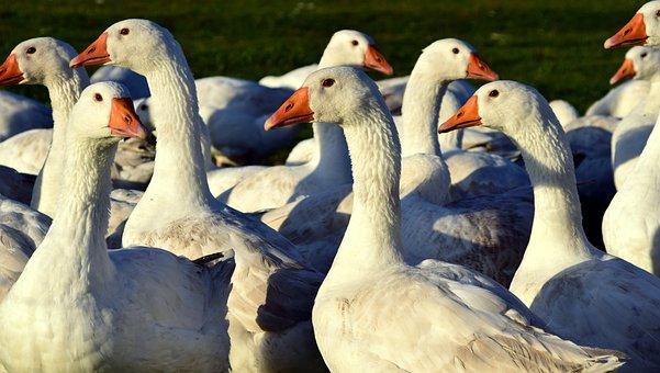 Geese, Geese Schaar, White, Water Bird