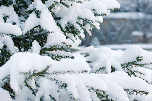 Spruce, Snow, Snowfall, Snowdrift