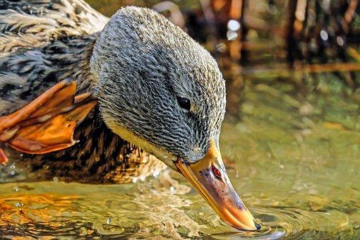 Duck Head, Head, Bill, Water Bird