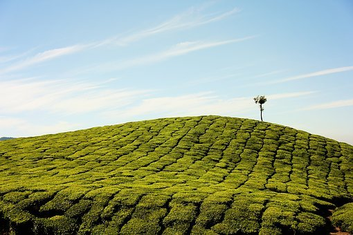 Tea Plantation, Farm, Plantation, Field