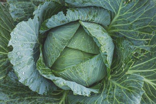 Lahana, Sebze, Kale, Yeşil, Çiğ, Flora