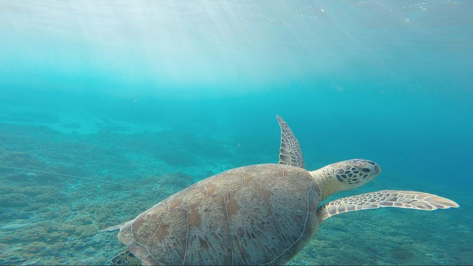 動物, 海, は虫類, ウミガメ, 海水, シェル, 水泳, カメ, 水中, 水, 野生動物