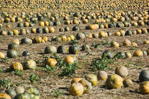 Pumpkin, Field, Squash, Pumpkins