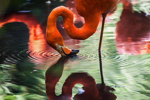 Animal, Flamingo, Avian, Bird, Feathers