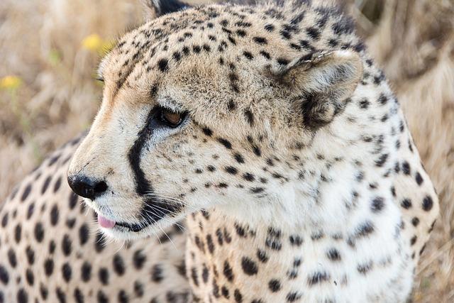 Photo gratuite des animaux big cat carnivore image gratuite sur pixabay 1850890 - Image animaux gratuite ...