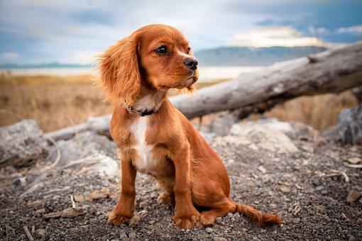 Hond, Huisdier, Puppy, Dierlijke, Cute