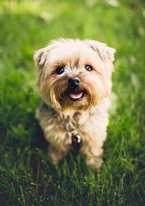 Terrier, Con Chó, Con Chó Con, Động Vật, Sinh Sản, Chó