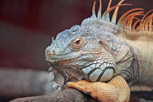 Animal, Iguana, Lizard, Close-Up, Exotic