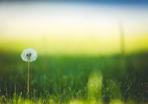 Flower, Dandelion, Meadow, Wildflower