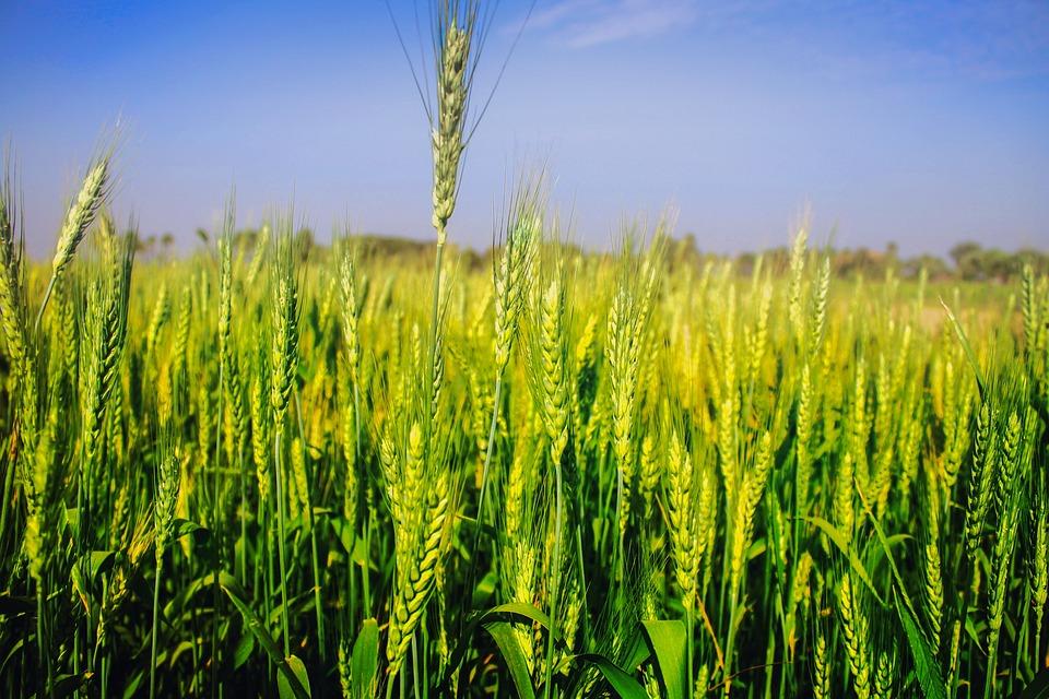 Summer Flower Field Wallpaper Free photo: Wheat, Fie...