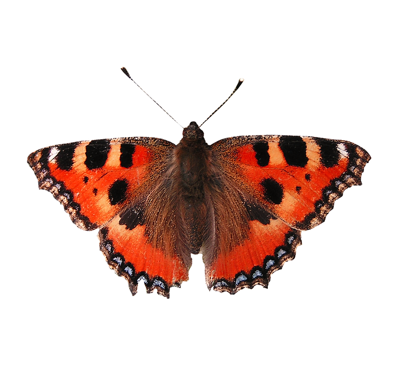 Free Photo Isolated Butterfly Butterfly Free Image On Pixabay