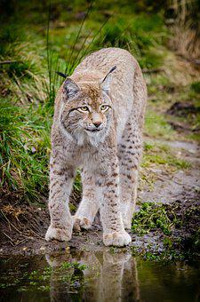 Animal Big Cat Feline Grass Lynx Outdoors