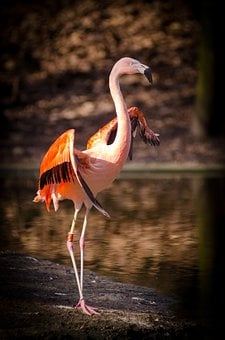 1 000 Gambar Flamingo Burung Gratis Pixabay