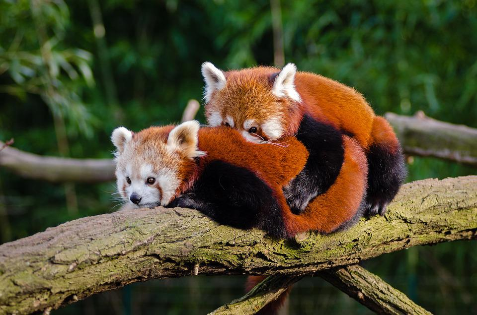Animal, Red Panda, Cuddle, Cute, Environment, Fur