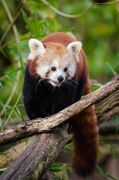 Adorable, Animal, Cute, Furry, Outdoors, Red Panda