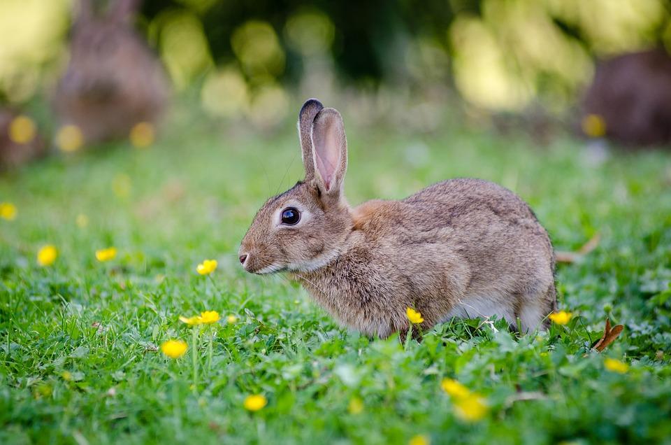 Lapin - Nature - Mammifère - Animal - Herbivore - SchoolMouv - Sciences - CE2